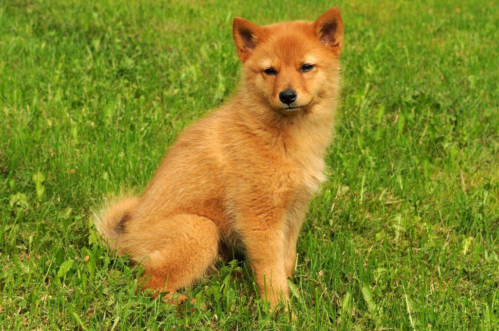 продаже картинки собак похожих на лисичек лучшие анекдоты