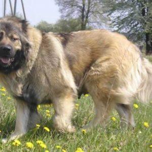 Кавказская овчарка — подробная характеристика породы, описание, фото, отзывы, цена щенков, содержание, заболевания, лечение, видео