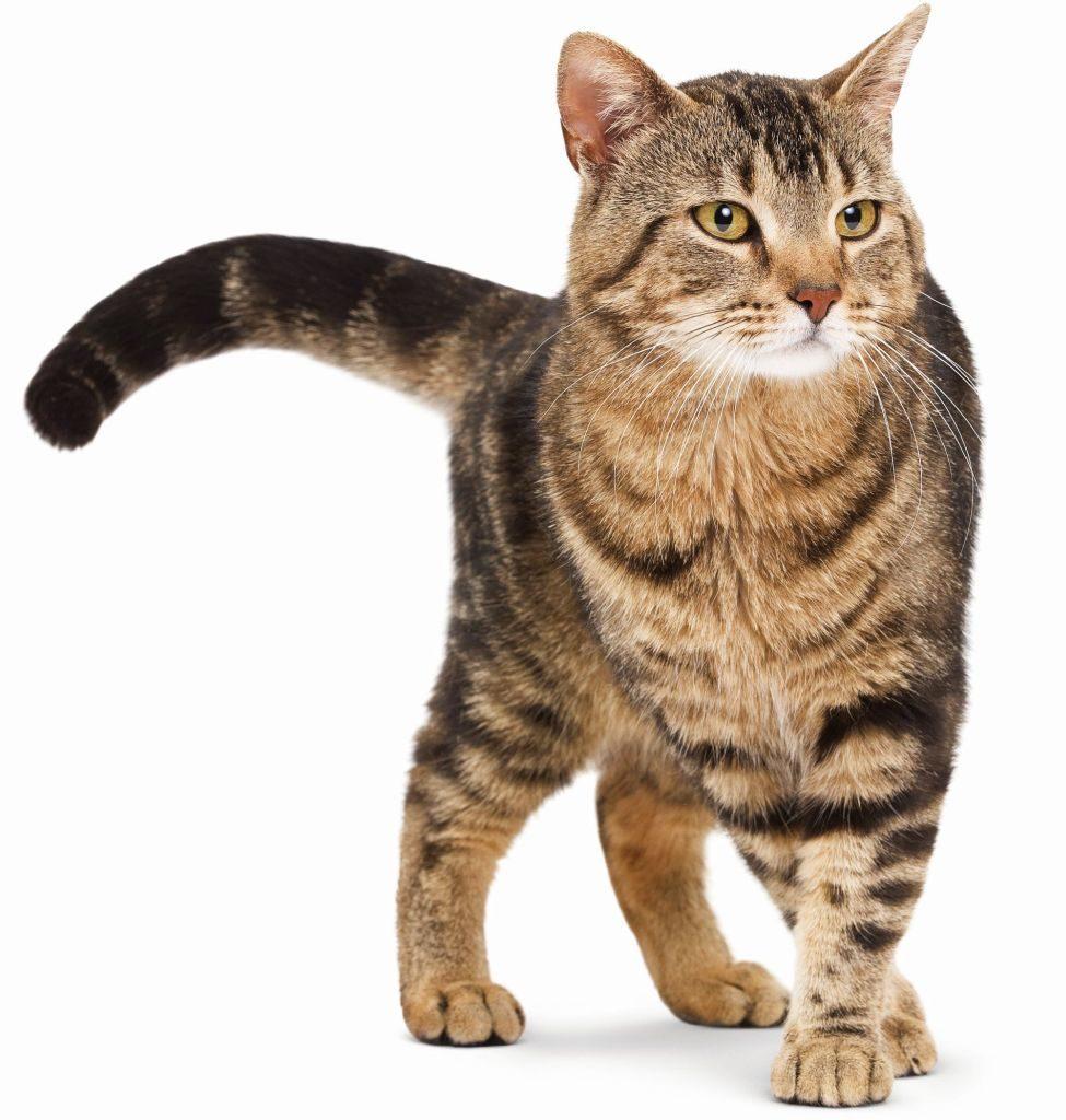 европейская короткошерстная кошка картинка ребята, таким назначением