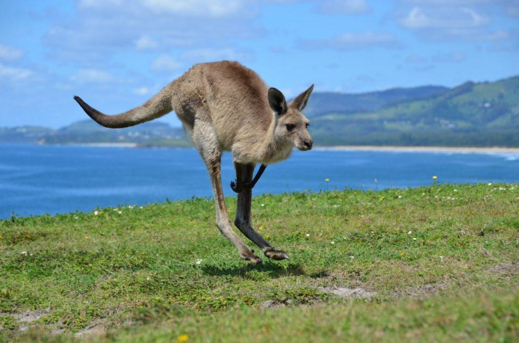 покажем вам, кенгуру фото животного кружево
