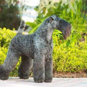 Керри-блю-терьер — все плюсы и минусы собаки, необходимые условия содержания а также другие особенности породы в обзоре (фото и видео)