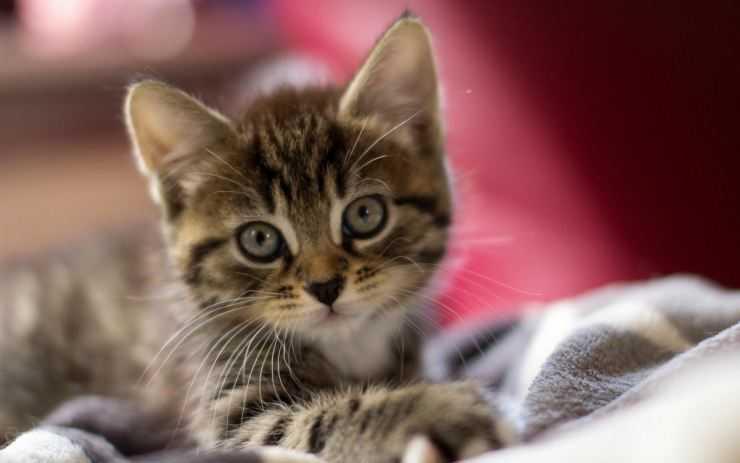Пород кошек кимрик фото