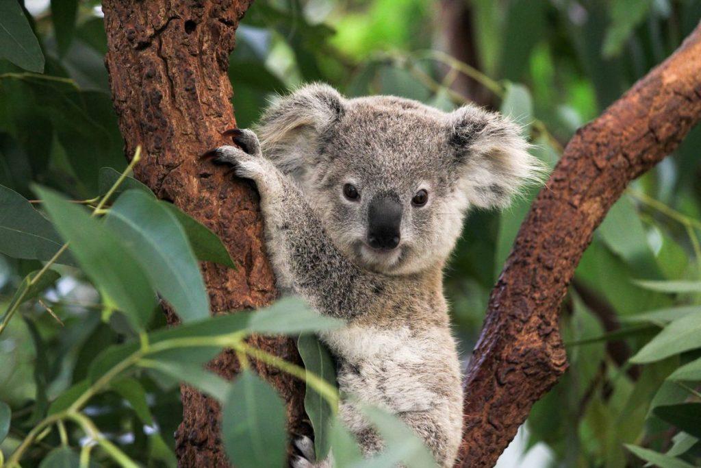 реферат на тему коала с фото использовать для окрашивания