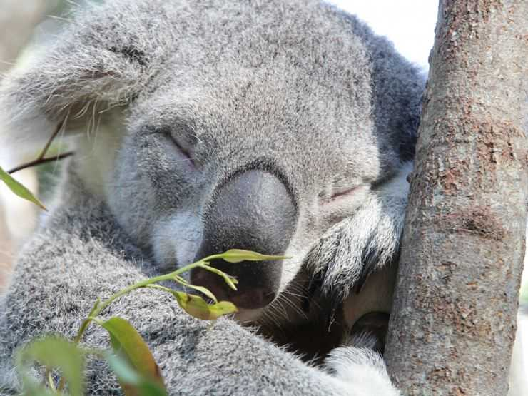Коала: фото, образ жизни, среда обитания, повадки, характер, виды, интересные факты, видео