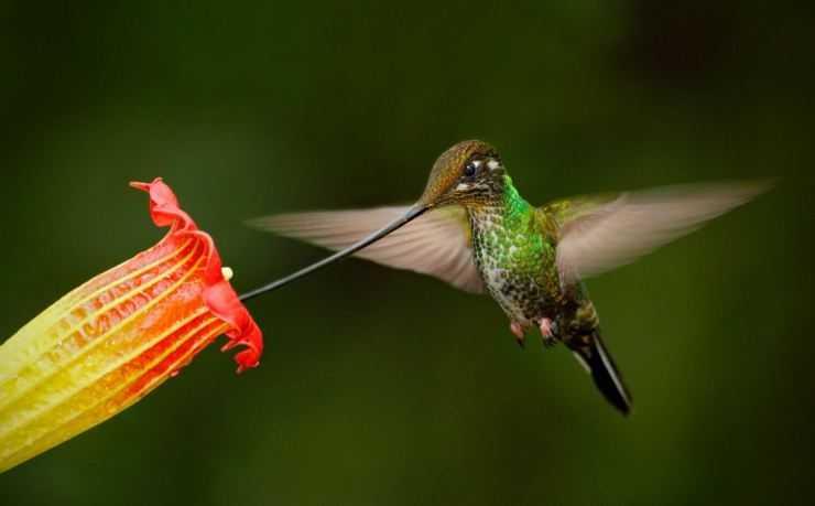 Колибри — чемпион по маленьким размерам, и просто красивейшее создание! Узнайте все о породе вечно движущейся птичке (фото и видео)