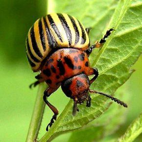 Колорадский жук -знаменитый вредитель: история, описание, жизненный цикл насекомого