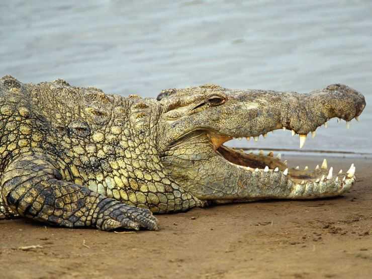 Крокодил — виды дикого животного, рацион питания, образ жизни, среда и места обитания крокодилов (100 фото)