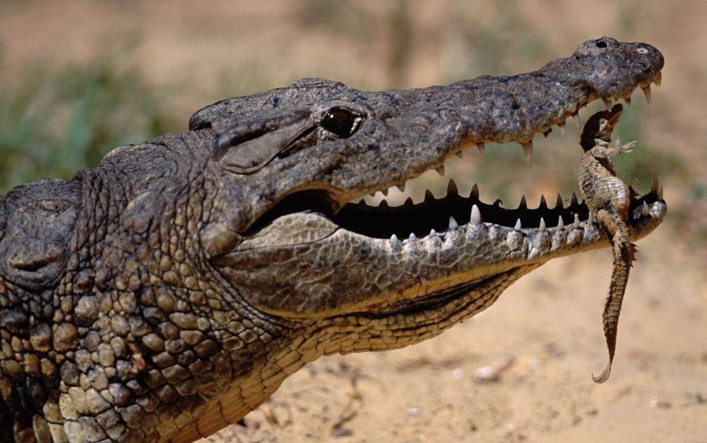 кто картинка крокодила и его детеныша розово-сливочное платье