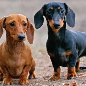 Кроличья такса: особенности содержания, стандарты породы, характер и 150 фото собаки