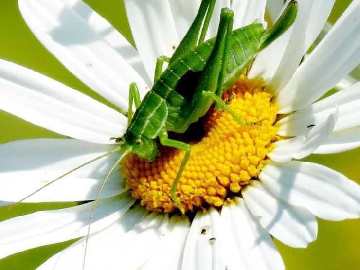 Кузнечик: анатомия, питание, размножение, образ жизни и среда обитания насекомого (фото +видео)