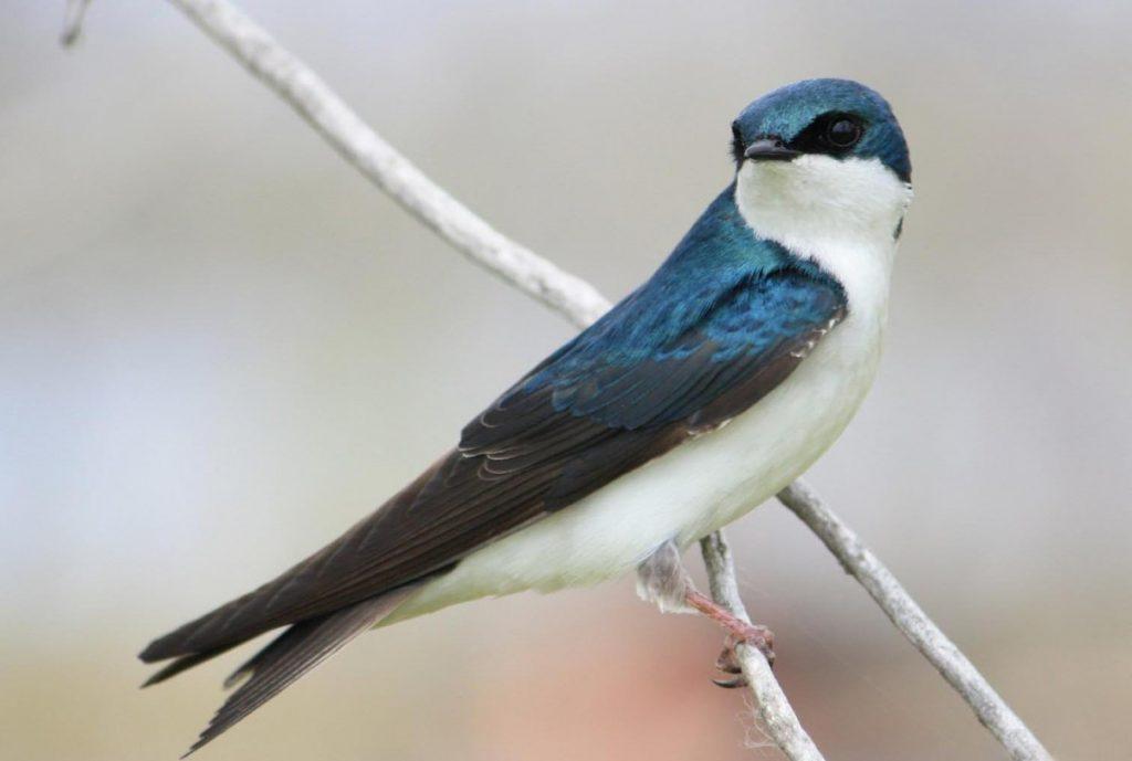Ласточка фото птицы для детей