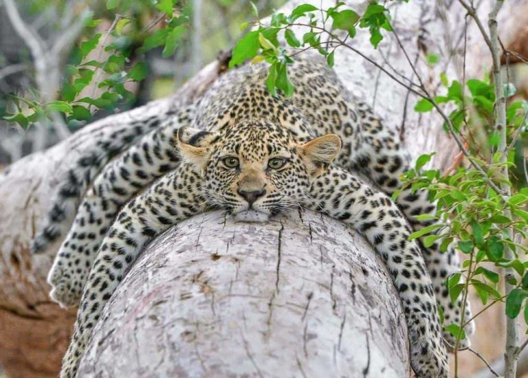 смешные фото амурского леопарда чем устанавливать