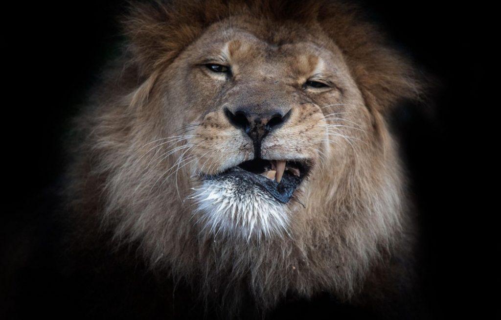фото высокого качества львы на фон телефона обезопасить близлежащие