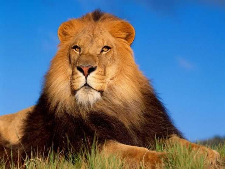 Лев — места обитания, описание прайда, питание, образ жизни и повадки хищника (125 фото и видео)