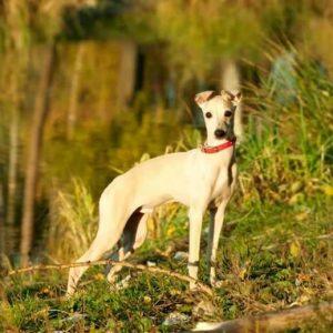 Левретка — собака мечты! Узнайте все особенности данного вида, историю происхождения и опыт содержания в статье +135 фото