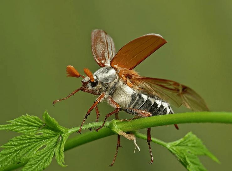 Майский жук (хрущ): его повадки, внешний вид, методы борьбы, фото, видео