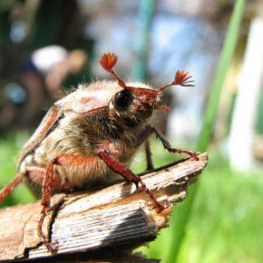 Майский жук: описание, виды, ареал обитания, жизненный цикл представителя жесткокрылых (фото + видео)