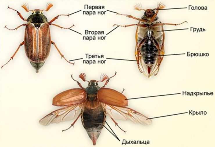 миниатюру газеты строение надкрыльев майского жука фото конструкция имеет форму