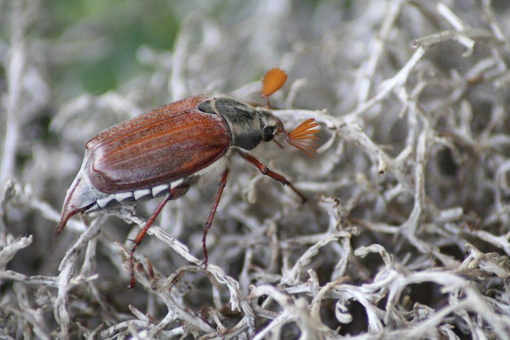 Картинки жук хрущ