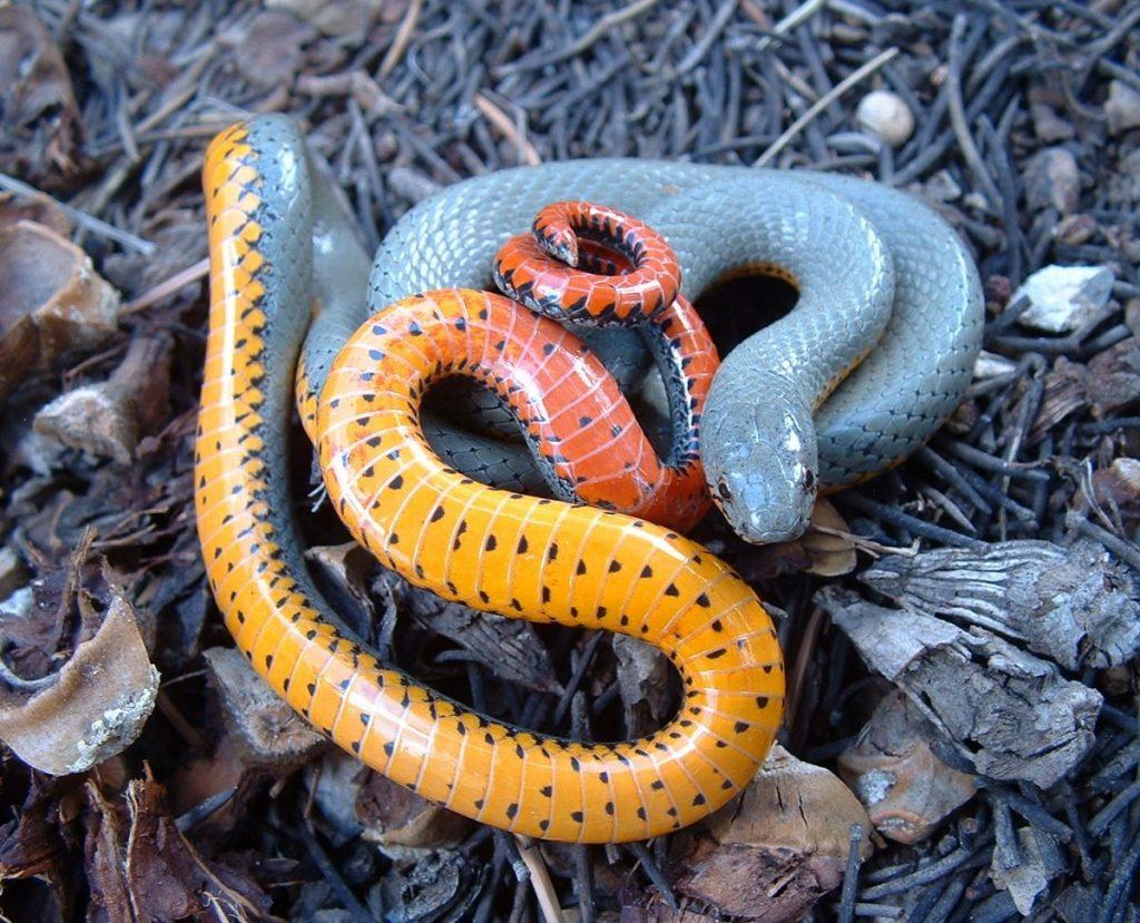пара названия змей с фотографиями это еще