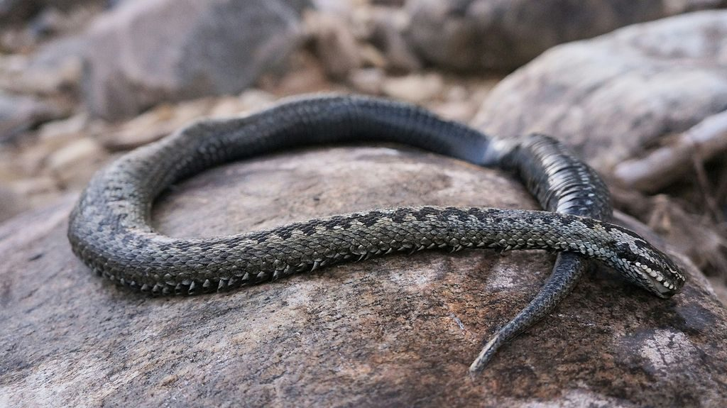Ядовитые змеи урала картинки