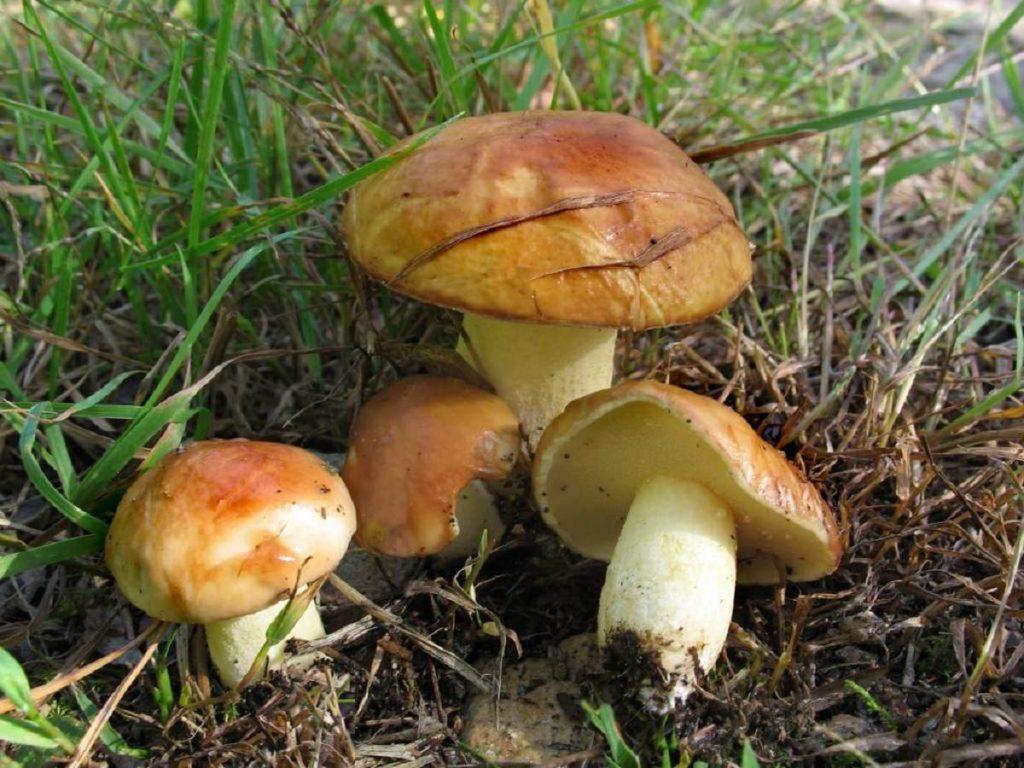 грибы маслята картинки смотреть фотосъёмка