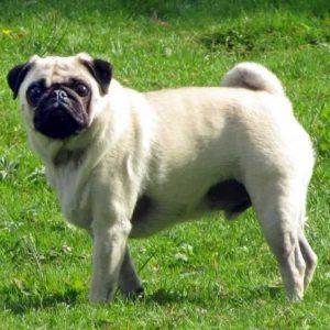 Мопс (90 фото) — характеристика породы, описание, особенности, содержание и уход, видео, отзывы, цена щенков