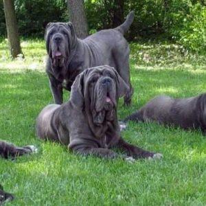 Неаполитанский мастиф — описание породы собаки и нюансы ухода за мастино (105 фото и видео)