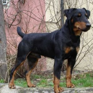 Немецкий ягдтерьер — особенности выбора, содержания и особенности воспитания умного пса (105 фото)