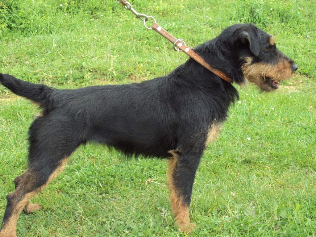картинки собаки немецкий ягдтерьер пожелания