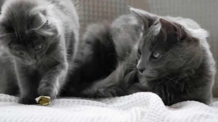 Нибелунг (кошка) — 115 фото, видео описание стандартов породы, уход и содержание