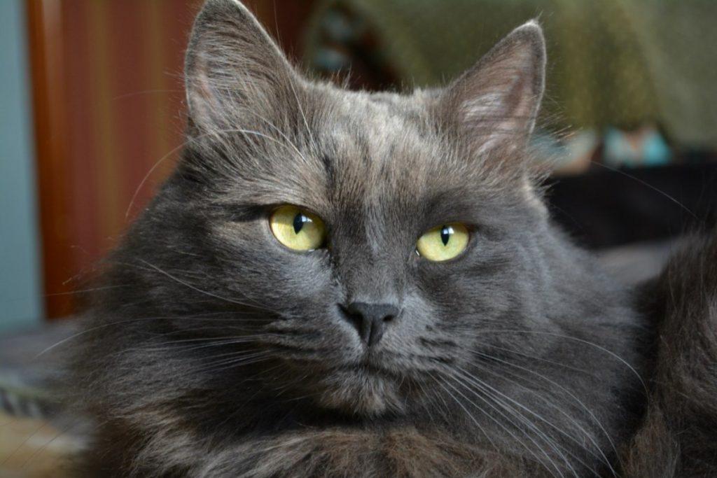 Порода кошек нибелунг картинки
