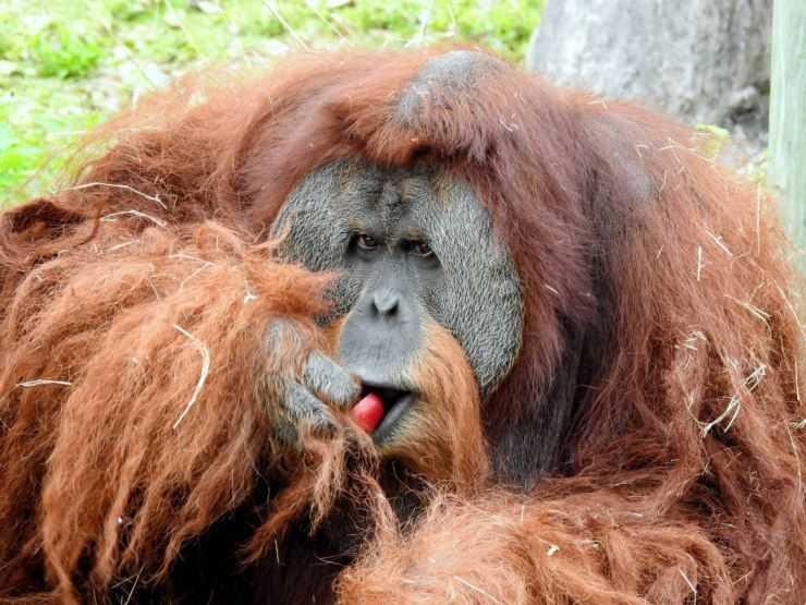 Орангутан — фото, видео, ареал обитания, рацион питания, образ жизни и интересные факты о примате