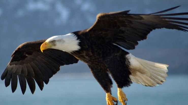 Орел: описание, виды, чем питается, сколько живет, где обитает, фото, видео. Полное описание от А до Я особо крупной хищной птицы орел!