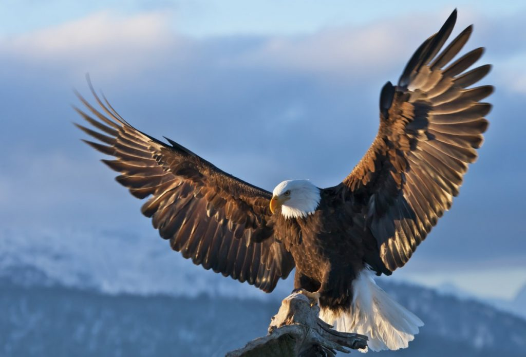 большие картинки с орлами спас его
