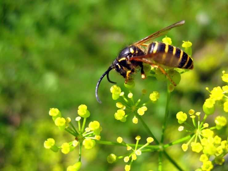 Оса — жалящий хищник: описание, виды, среда обитания и интересные факты из жизни насекомого (фото + видео)