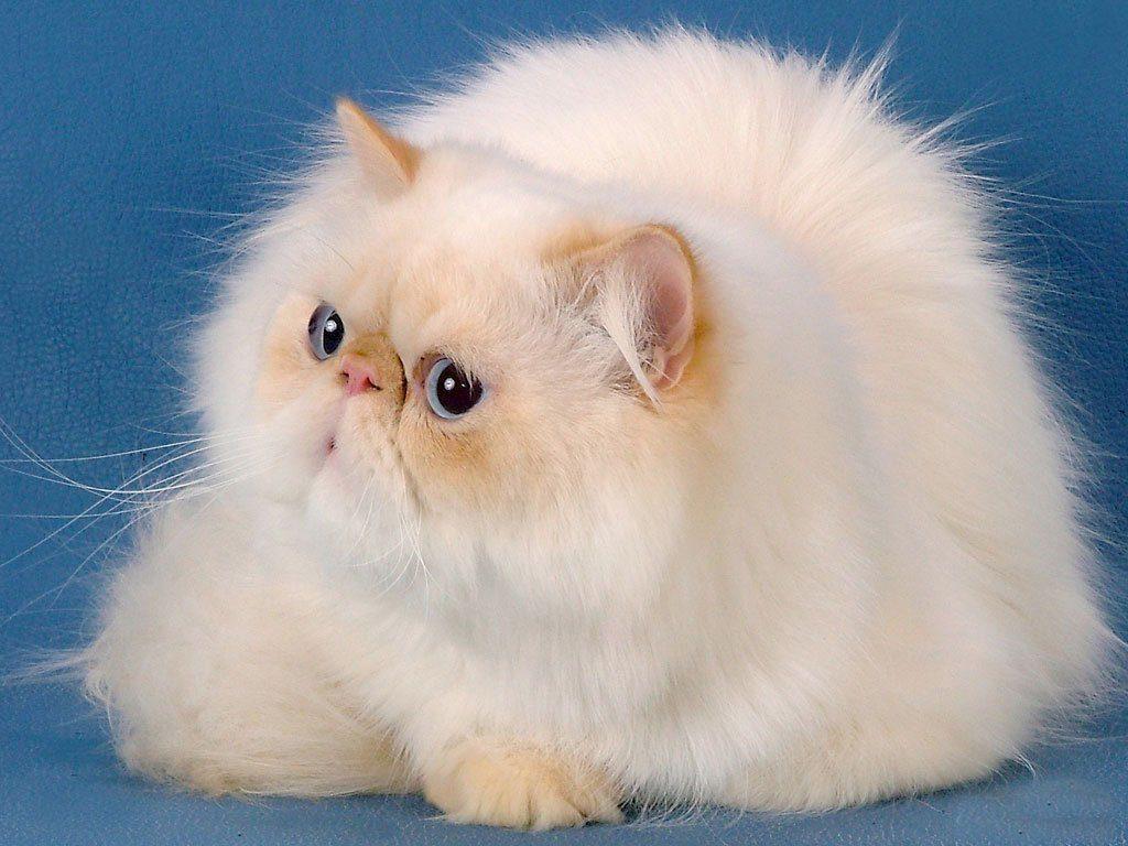 порода кошек персидская фото