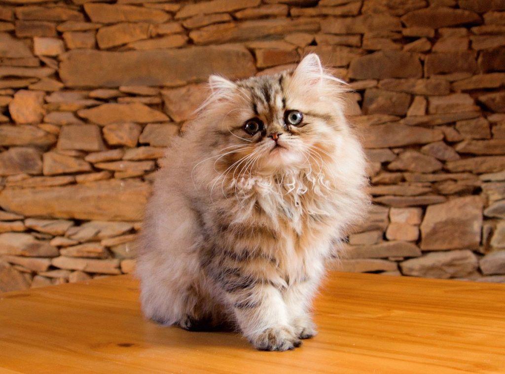 Картинки персидского котика