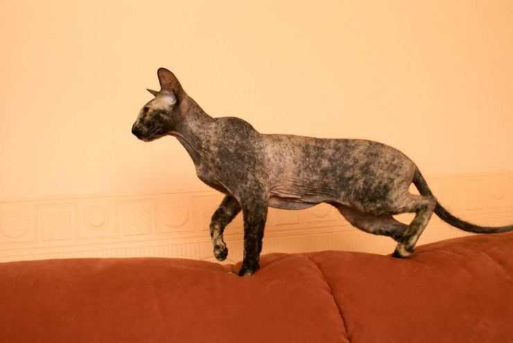 Петерболд: характер и правила выбора кошки. 110 фото и отличительные особенности породы