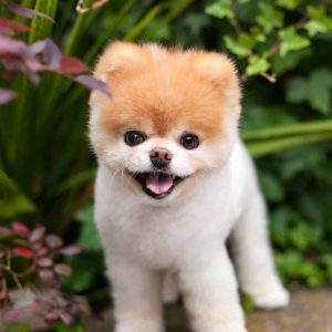 Померанский шпиц: описание породы, особенности содержания и ухода за популярной декоративной собакой (+100 фото)