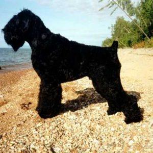 Португальская водяная собака — описание породы, нюансы ухода и воспитания собаки (95 фото)