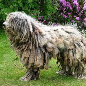Собака Пули — описание породы, интересные факты, все особенности ухода. Фото и видео венгерской водяной породы собак