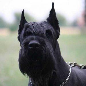 Ризеншнауцер — шикарная порода собаки которая не оставит вас равнодушными, ее характеристики а также правила питания и ухода в этой статье!