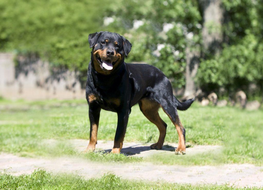 парад, смотреть картинки собаки ротвейлер прокурор издал
