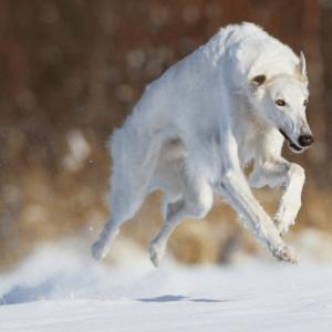Русская псовая борзая: подробное описание, характер, особенности и выбор породистого щенка