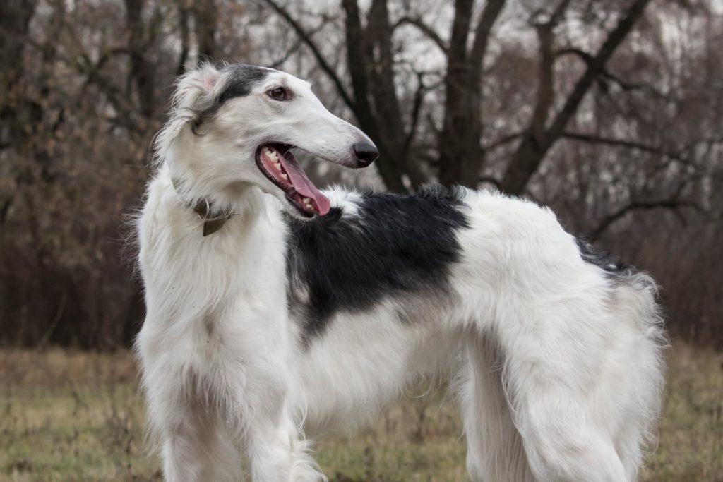 борзая собака фото русская полосатая этом
