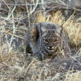 Рысь — дикий представитель кошачьих, ближайший родственник домашней кошки (фото + видео)
