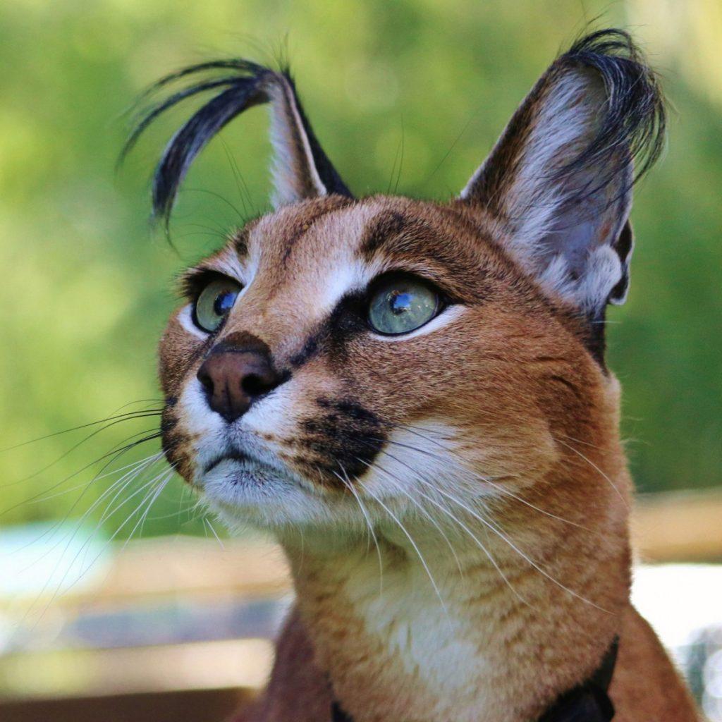словам крымчанки, домашняя рысь порода кошек фото поддонов даст