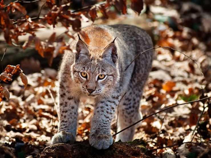 Рысь — описание животного, что ест, места обитания, враги, характер, фото, интересные факты