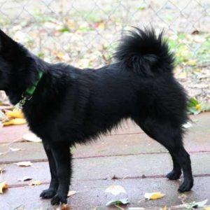 Собака шипперке: фото, описание породы, история, характер и особенности содержания пастушьей овчарки